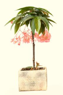 A single begonia tamaya with many pink flowers in a white stone pot.