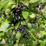 A fruiting black currant shrub.