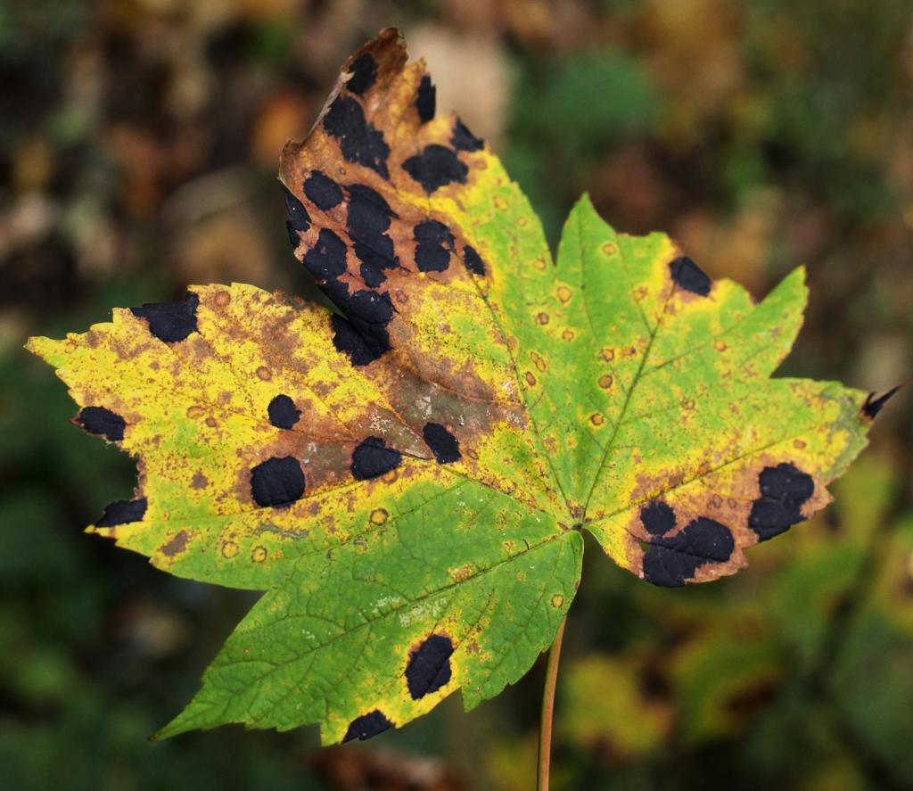 Tar like black spots on maple leaf, yellowing and brown around the rim.