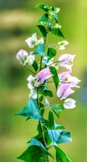 A light sprig of pale pink bougainvillea flowers with a few leaves.
