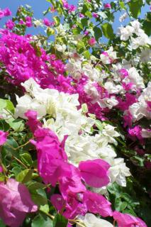 Pink and white bougainvillea.