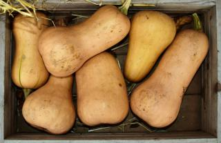 Harvest of butternut in a wooden crate, six large pieces.