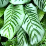 Calathea plant leaves, shown on the photo, purify indoor air from contaminants.