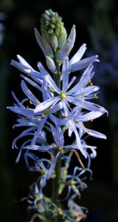 A single panicle of violet-blue camassia flower against a blue background.