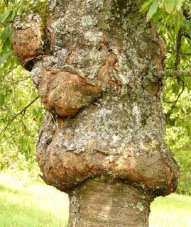 Massive canker on a fruit tree.