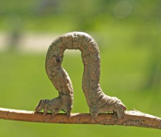 A caterpillar inching along a branch, ready to be plucked.
