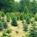 Forest clearing with Christmas trees ready for harvest.