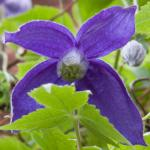 A four-petaled violet-colored Clematis alpina flower within a bunch of leaves.