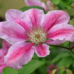 Pink and white flower, single, of the clematis vine.