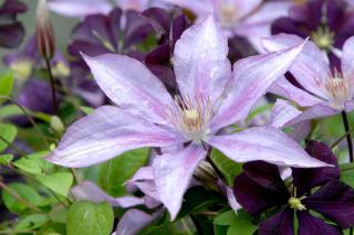 A light violet clematis with sharp-tipped petals.