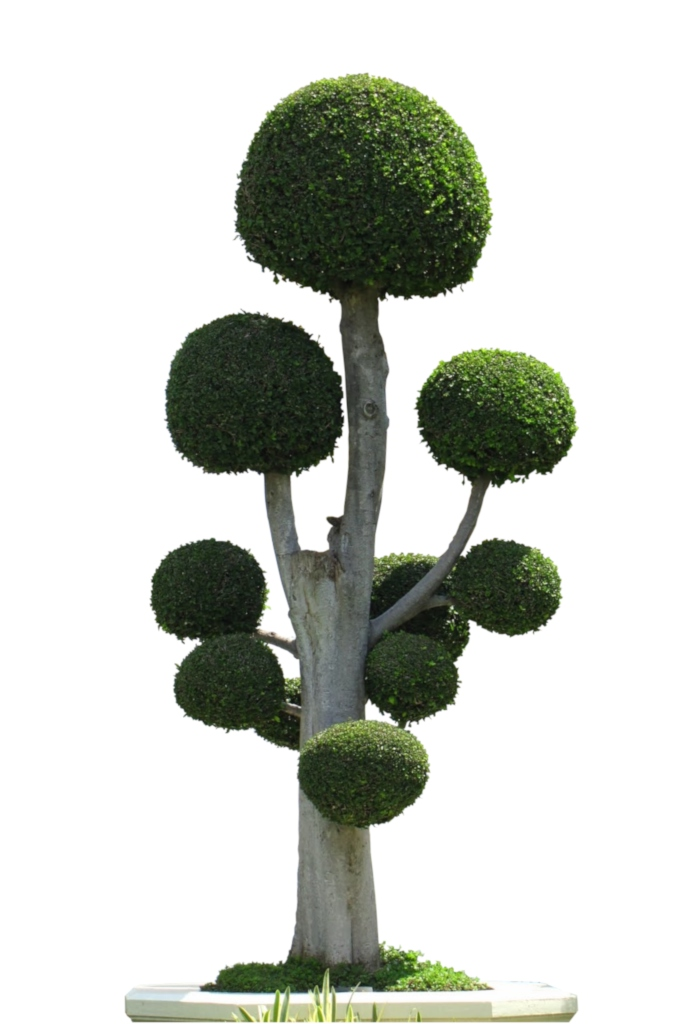 Magnificent example of a cloud-pruned shrub with 8 to 10 clouds and a silver gray trunk.