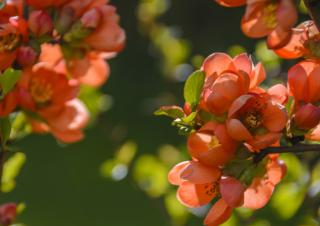 Peach-pink colored flowers on a cotoneaster shrub.