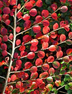 Autumn colors on cotoneaster makes leaves look like confetti made of fire.
