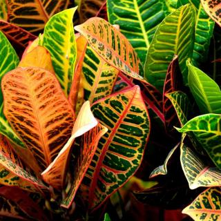 Red, orange and green croton leaves purify the air indoors.