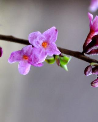 Daphne, a winter flower