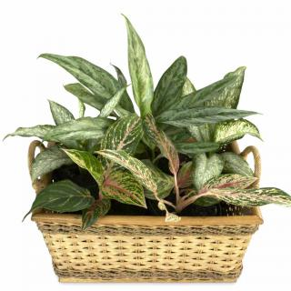 A dieffenbachia arrangement in a wicker basket acts as a filter for particles suspended in the air.