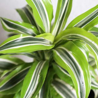 Dracaena houseplant close-up with lemon-lime leaves clean air as they breathe.
