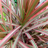 Dracaena marginata, a beautiful house plant