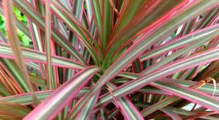 Dracaeana marginata tricolor exploding in full color.