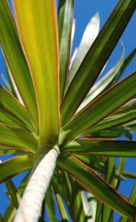 Beautiful Dracaena marginata with blue sky.