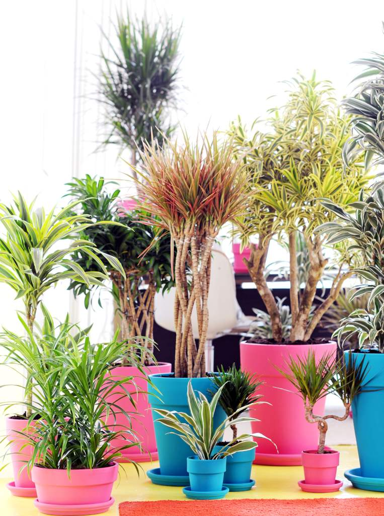 Dracaena varieties come in many types, sizes and colors.