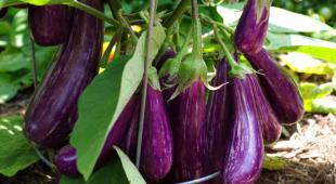 Bountiful eggplant with a dozen eggplants.
