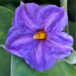 Purple eggplant flower, close-up.
