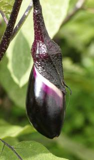 Young eggplant fruit with day growth marks.