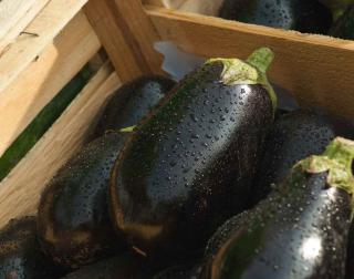 Fat purple eggplant harvest in wooden crate.