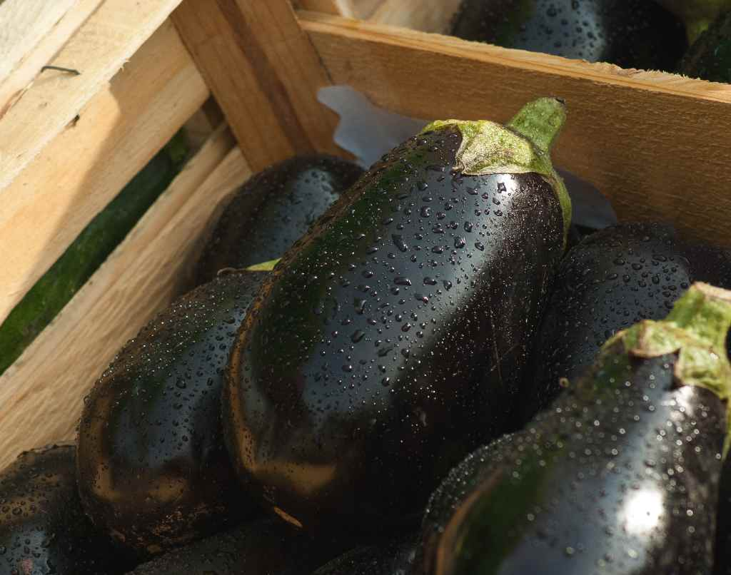How to grow aubergine in the open field: useful tips