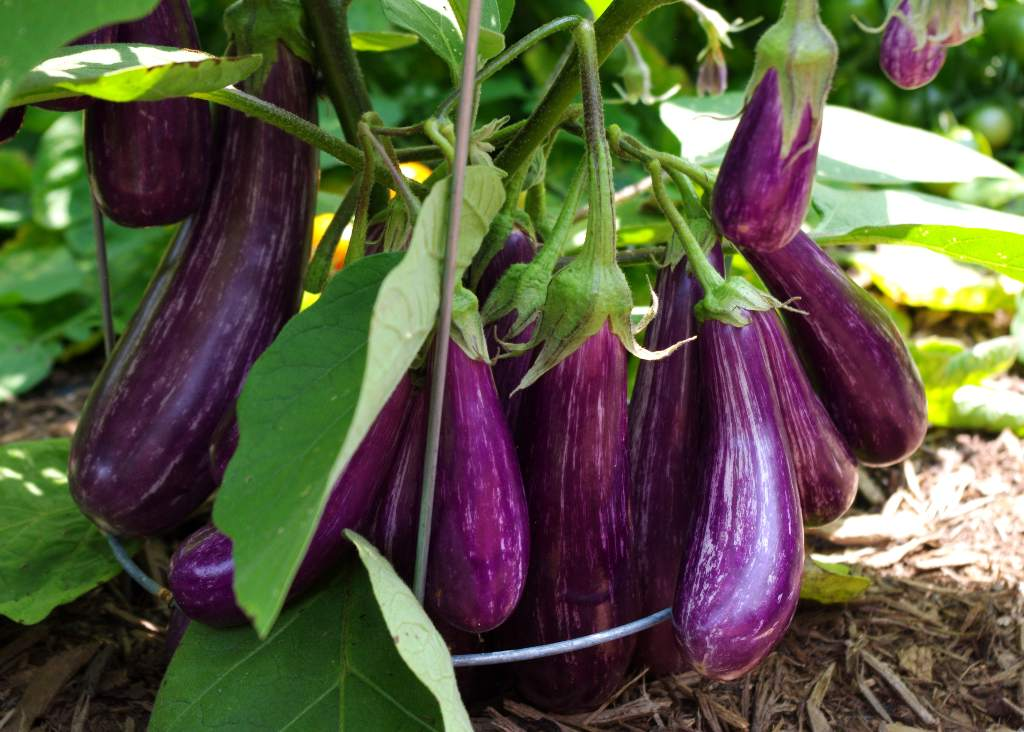 Bountiful eggplant with a dozen eggplants.