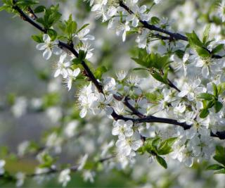 A bloom-covered apple tree branch is a sign of a rich harvest.