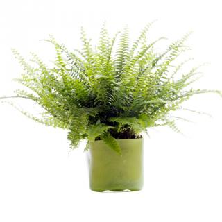 A small pot with ferns does wonders to clean indoor air.
