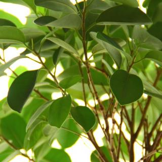Green leaves of the ficus tree filter air pollution out..
