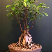 Ficus ginseng, a cute little bonsai