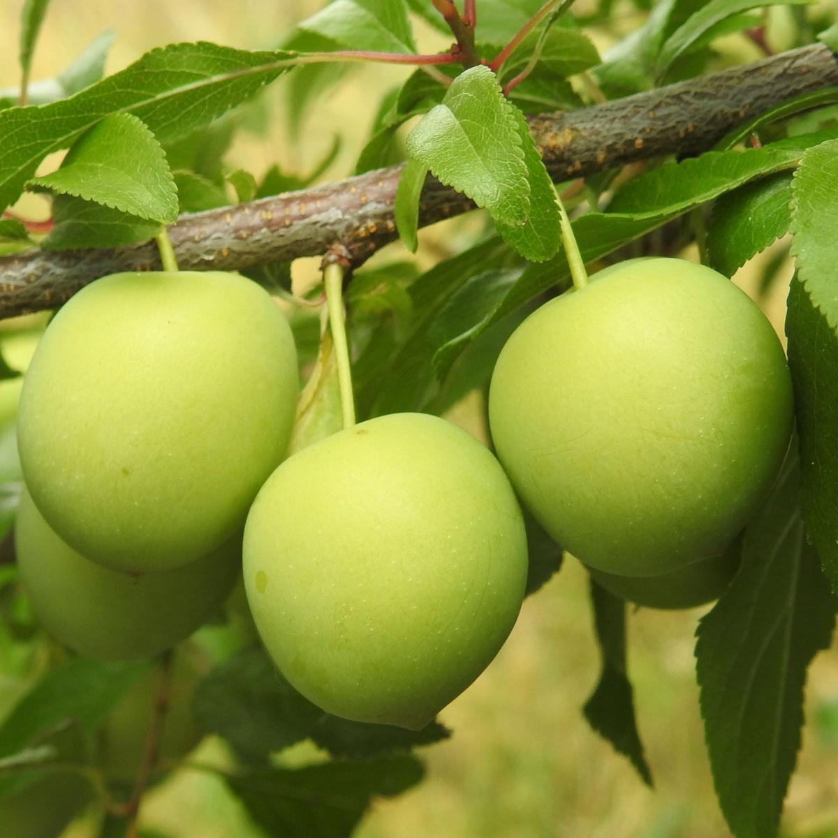 Plum Tree Pruning Diseases And Care For Plum Trees