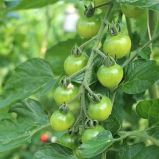 Unripe tomatoes on branch