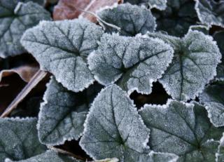 Ivy-leaved cyclamen leaves covered in light frost.