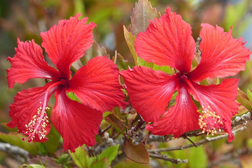 Two large red hibiscus flowers with autumn-red leaves.