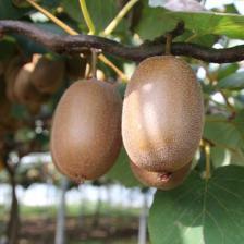 Actinidia, the kiwi tree