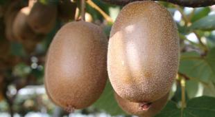 Fruits of the kiwi tree hanging from a treillis.