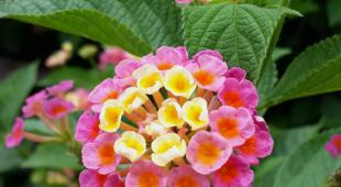 Lantana flowers with green leaves.