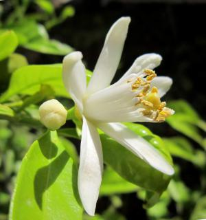 White flower of the lemon tree.