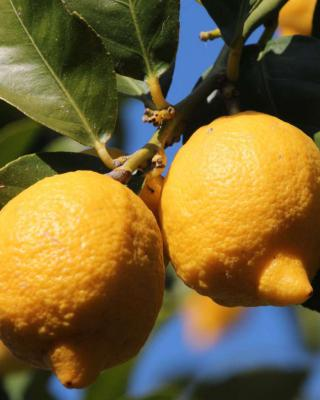 Lemon tree, magnificent fruit trees