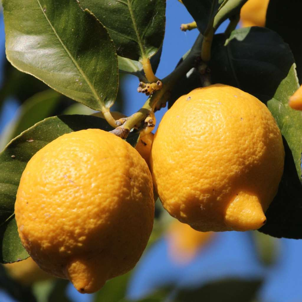 Lemon tree, magnificent fruit trees