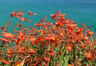 Red montbretia blooming near the sea