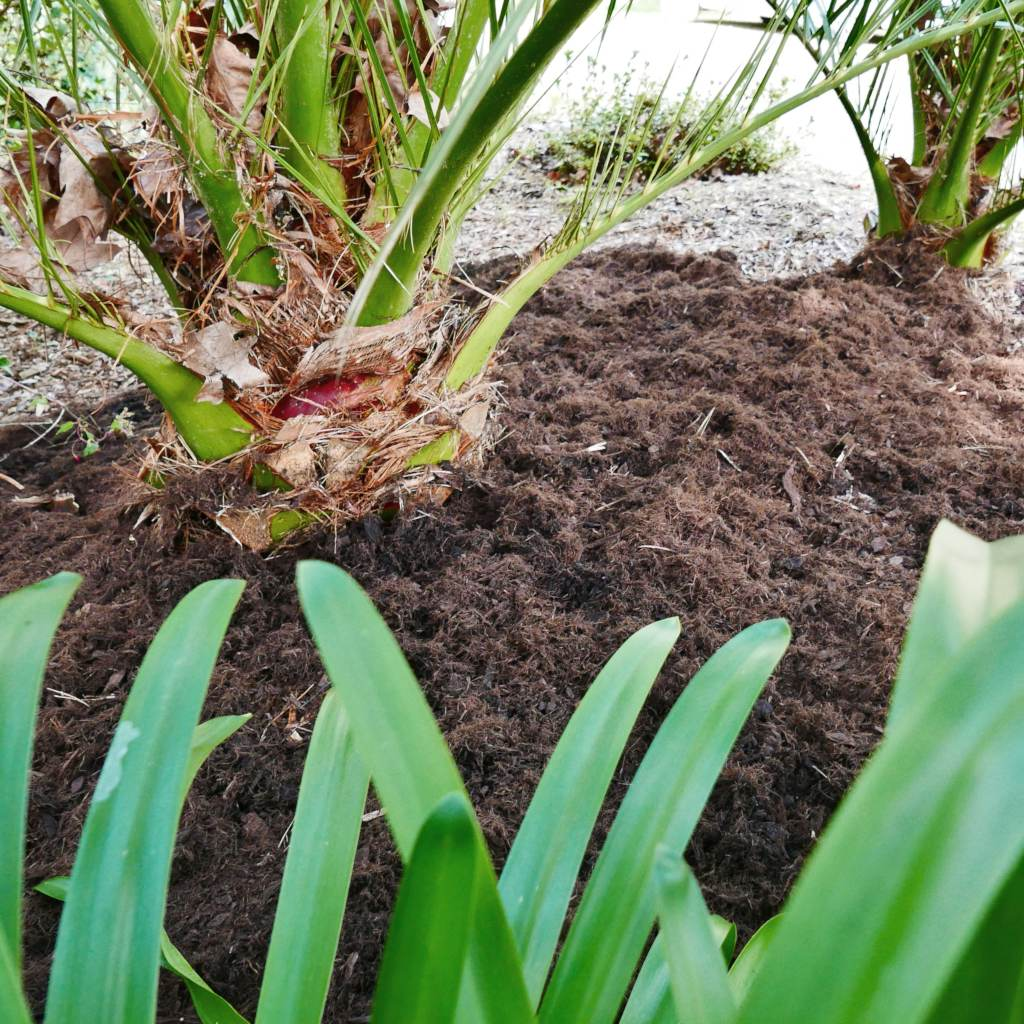 Mulch made from poplar bark is spread around palm trees.