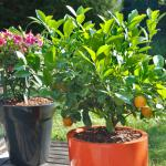 Mulch used in flower pots, filled to the brim with wood shards. Two pots, one a flower and one a citrus.