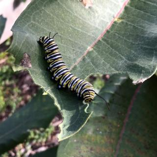 Caterpillar on a leaf, monarch butterfly