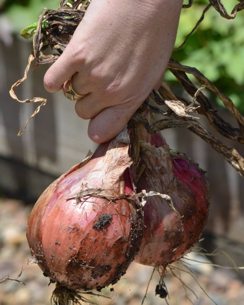 Onion, from seedling to harvest